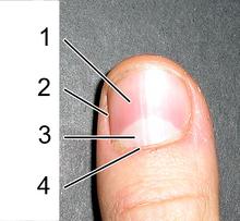 220px-Fingernail-Anatomia-externa-dumb2