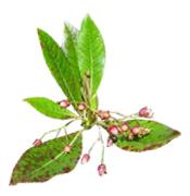 plante-bois-de-rose-bio