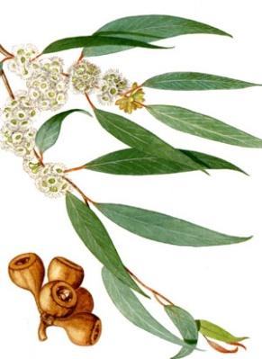 eucalyptus03